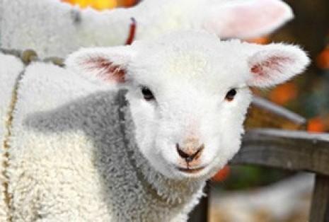 lamb1_1